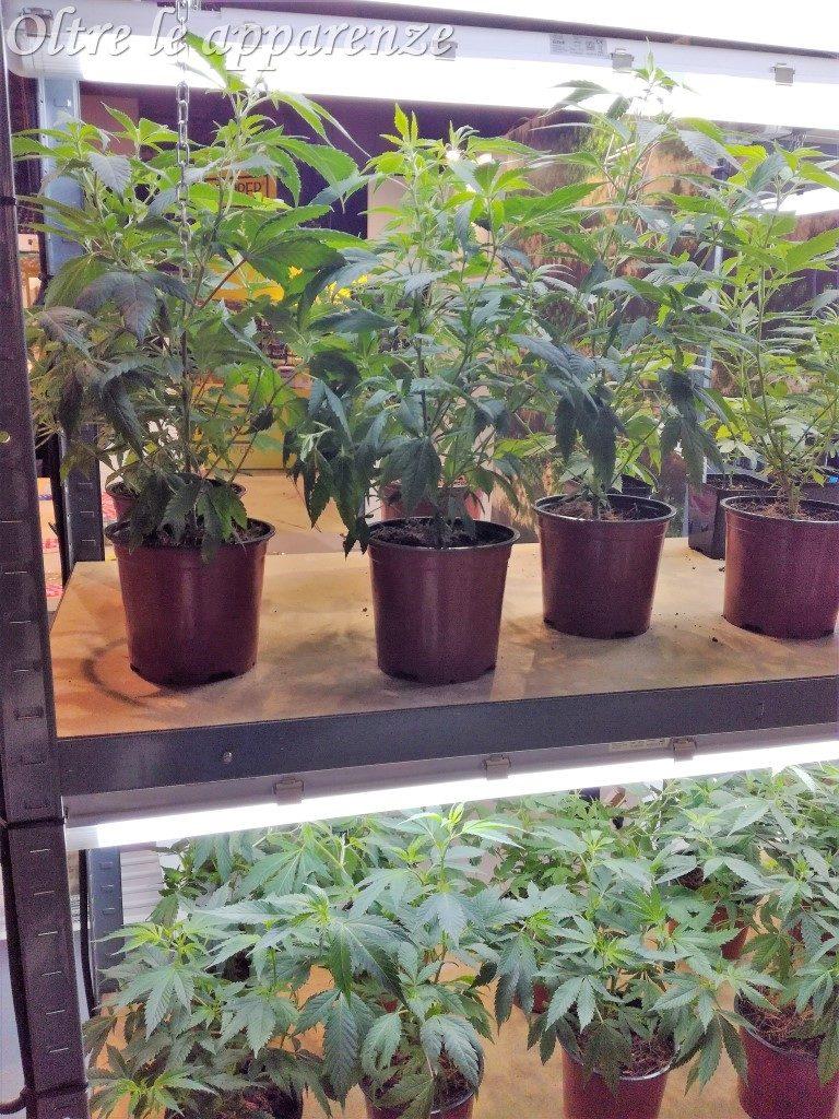 piante fiera della canapa